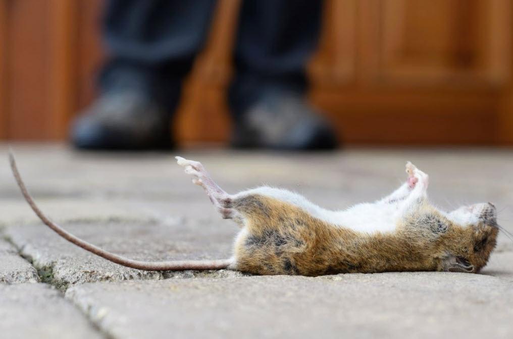 Tikus Mati Kena Racun Tikus