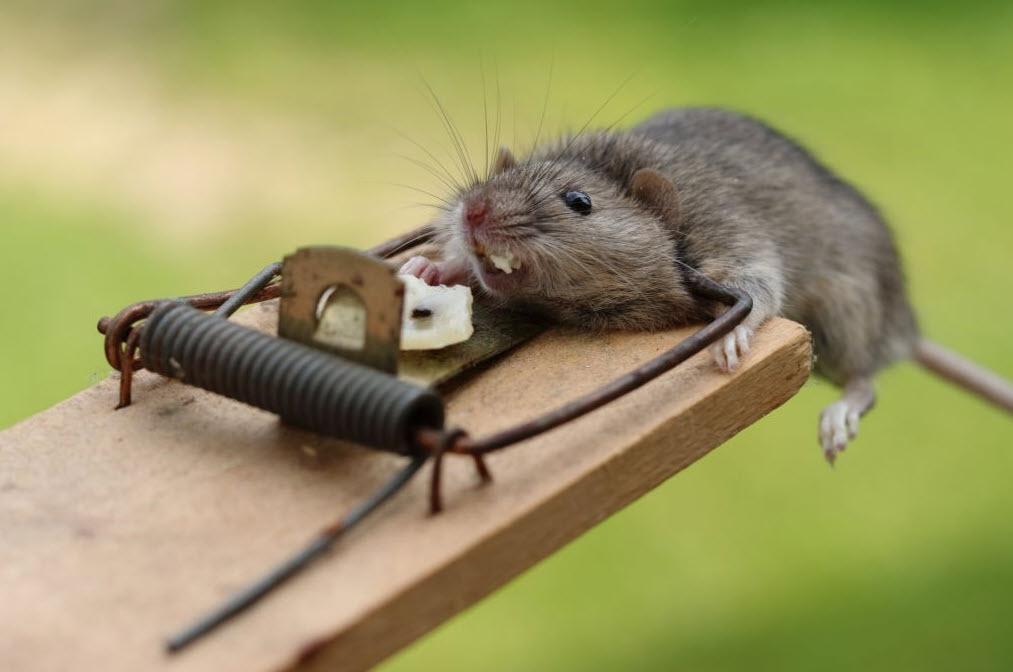 Tikus Terjebak di perangkap tikus